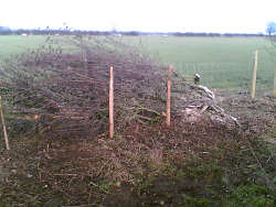 Simons first attempt at hedgelaying