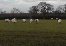 Sheep from collegues farm nr Buxton