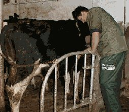 In this picture our vet Simon is examining a cows breathing.